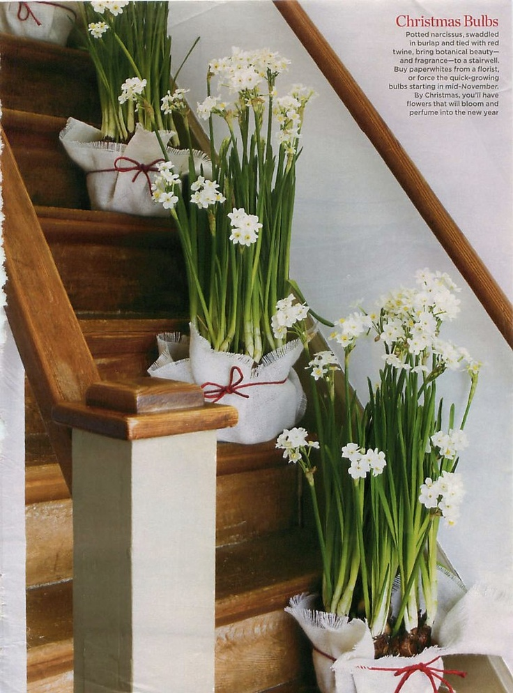 So Sweet-Scented Paperwhites...Natural Room Fresheners